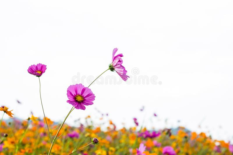Bipinnatus haut étroit de cosmos plus beau photographie stock libre de droits