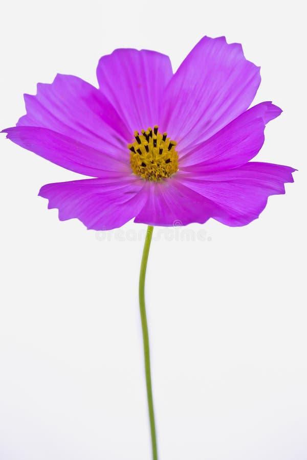Download Bipinnatus Pourpre De Cosmos Photo stock - Image du floraison, floral: 45371158