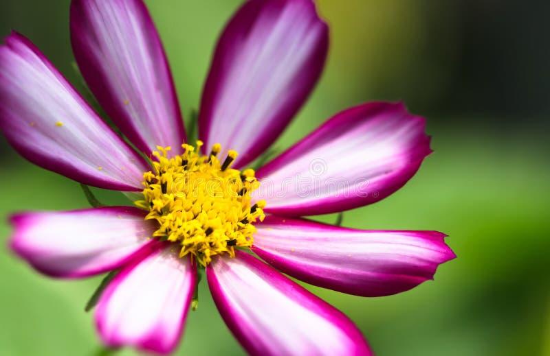 """Bipinnatus rosado púrpura, blanco y vivo del cosmos del  de Flower†del cosmos del """"Wild de la flor salvaje que florece duran imagen de archivo libre de regalías"""