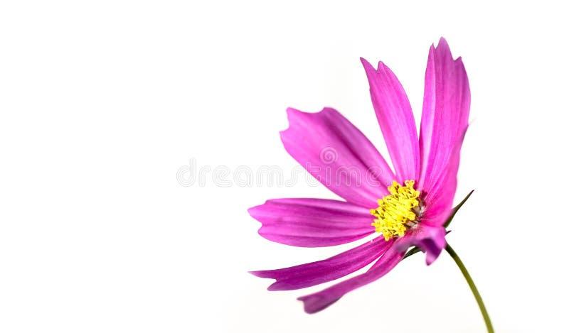 """Bipinnatus rose de cosmos de  de Cosmos†d'""""Wild de fleur sauvage fleurissant pendant le ressort et été d'isolement sur un fo photos stock"""