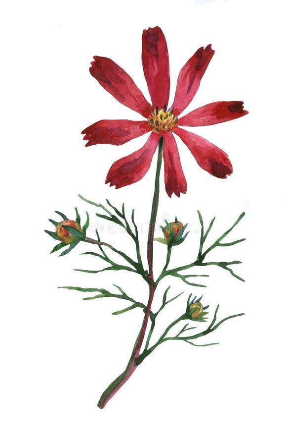 Bipinnatus roxo do cosmos, chamado geralmente o cosmos do jardim ou o áster mexicano ilustração do vetor