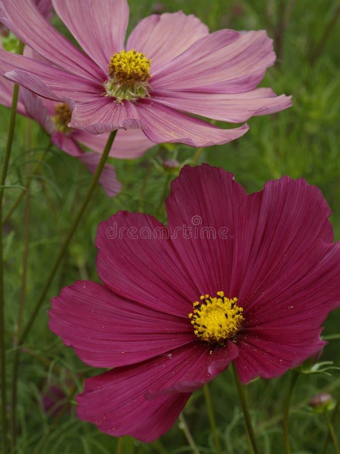 Bipinnatus Rubenza 02 de cosmos photographie stock