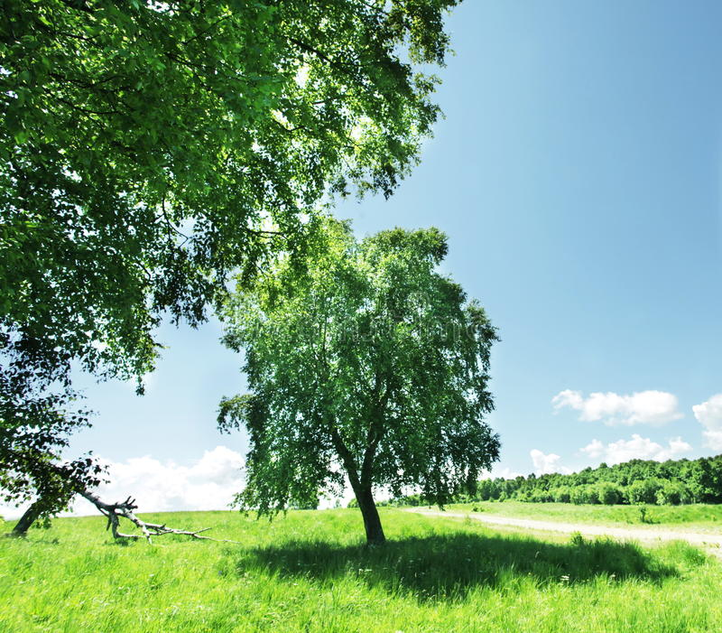 Download Birch stock photo. Image of countryside, natural, grassland - 10310432