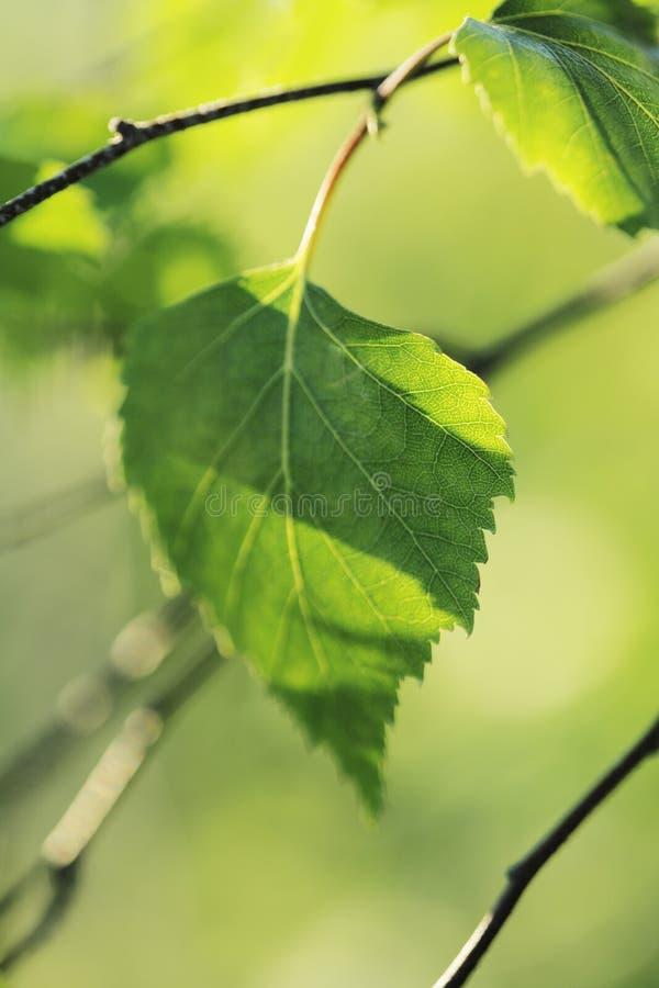 Download Birch stock photo. Image of nobody, birch, blurry, natural - 10444138