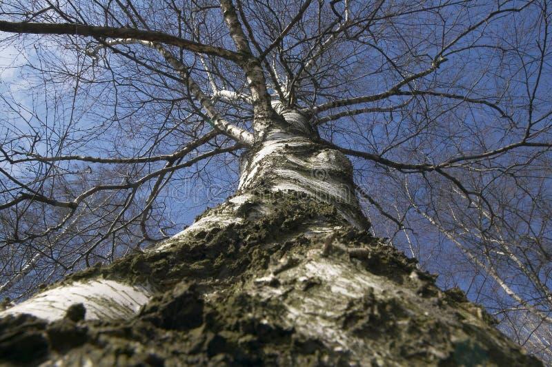 Download Birch stock image. Image of spring, birch, nature, bark - 105573