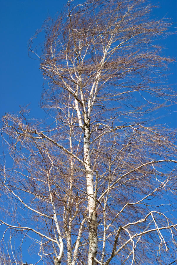 Free Birch Royalty Free Stock Photography - 13029287