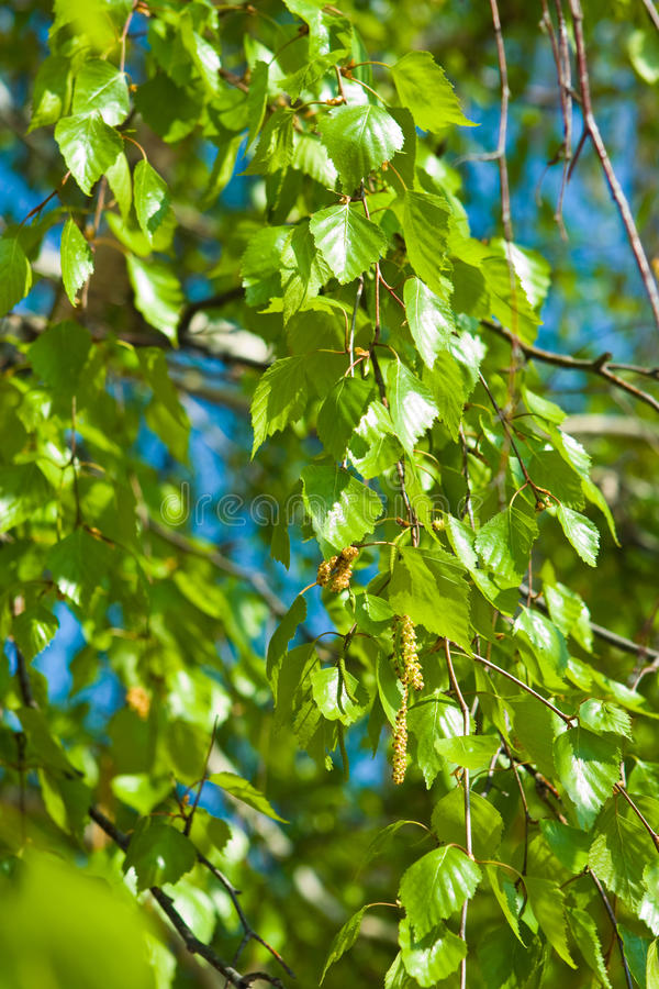 Download Birch stock photo. Image of background, silence, foliage - 14358382
