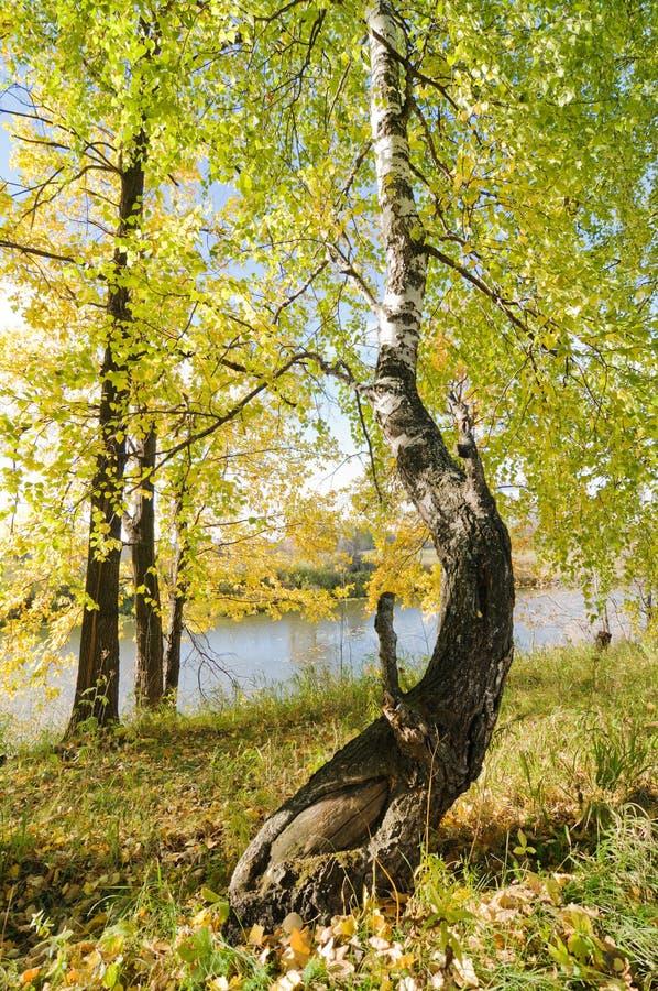 Download Birch stock photo. Image of green, leaf, birch, autumn - 16826198