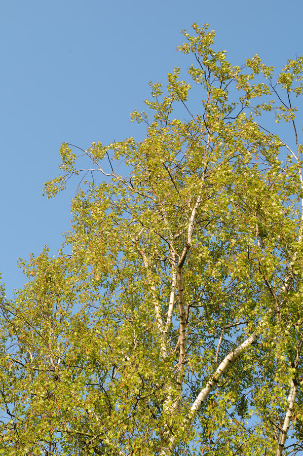 Birch Royalty Free Stock Photography