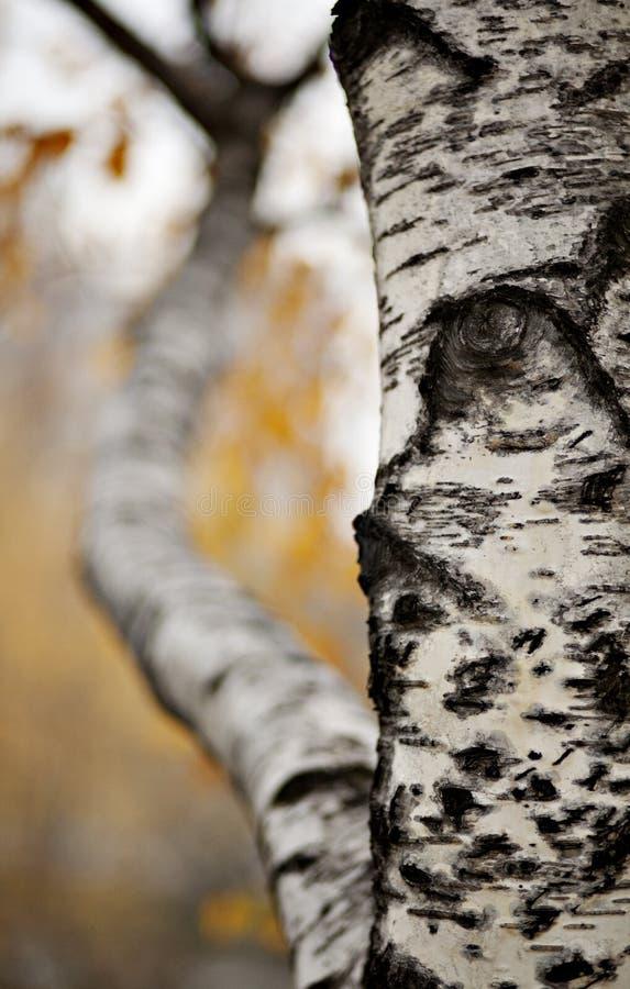 Download Birch stock image. Image of outdoor, birch, plant, broadleaf - 21275751
