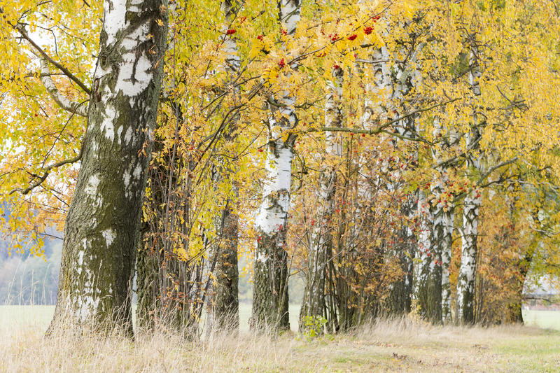 Download Birch alley stock image. Image of autumnal, birch, deserted - 27009963