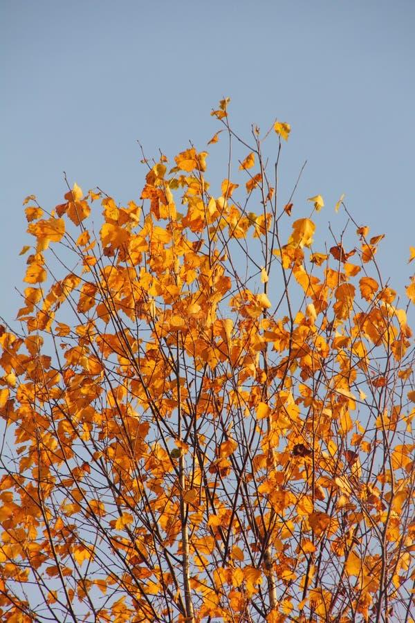 Download Birch. Autumn. stock image. Image of climate, birch, idyllic - 29175697