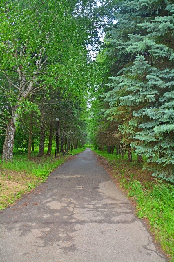 Birch avenue in Dendrology garden in Pereslavl-Zalessky city royalty free stock photo