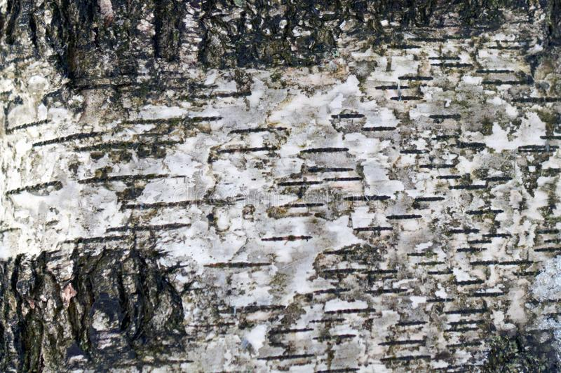 Birch bark background texture royalty free stock images