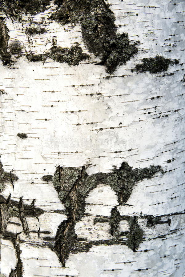 Birch bark in the background royalty free stock images