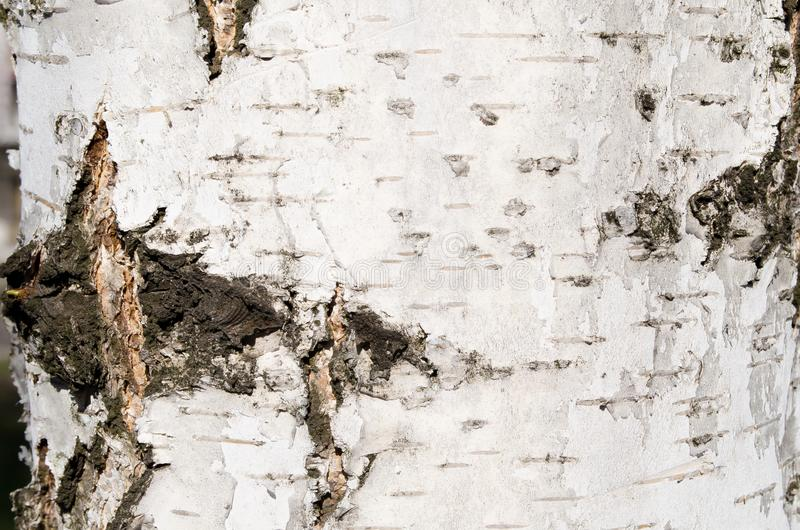 Birch bark. Bark. Tree. Wooden bark. Reliefs of the tree. Nature. Natural reliefs. Wood texture. Natural textures. Background. Woo. Den background. Vegetation royalty free stock photo