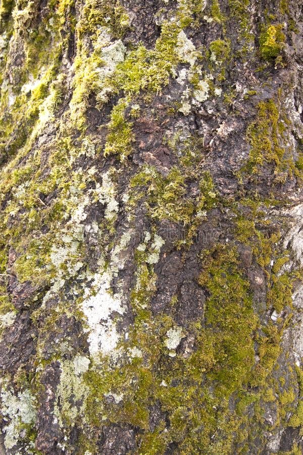 birch bark covered with green moss stock photos