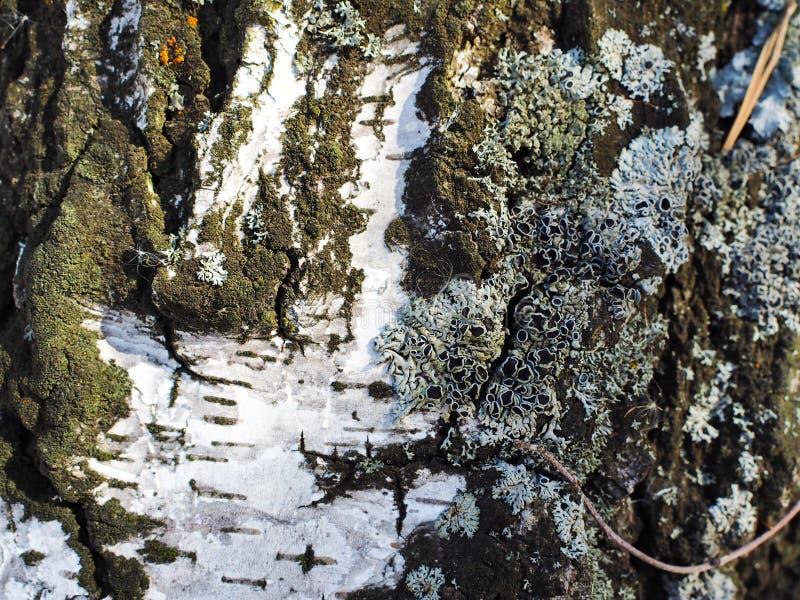 Birch bark with moss stock image