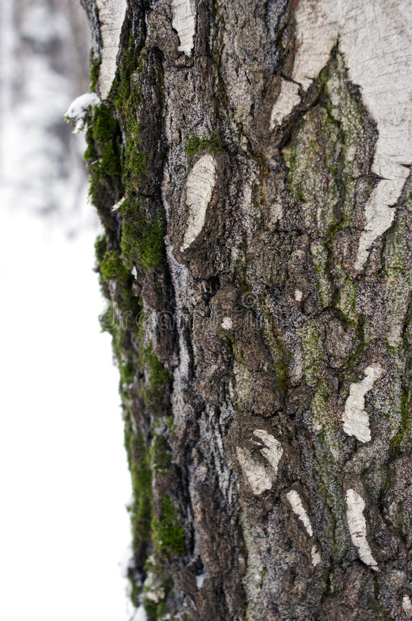 Birch bark with snow and moss close-up royalty free stock photography