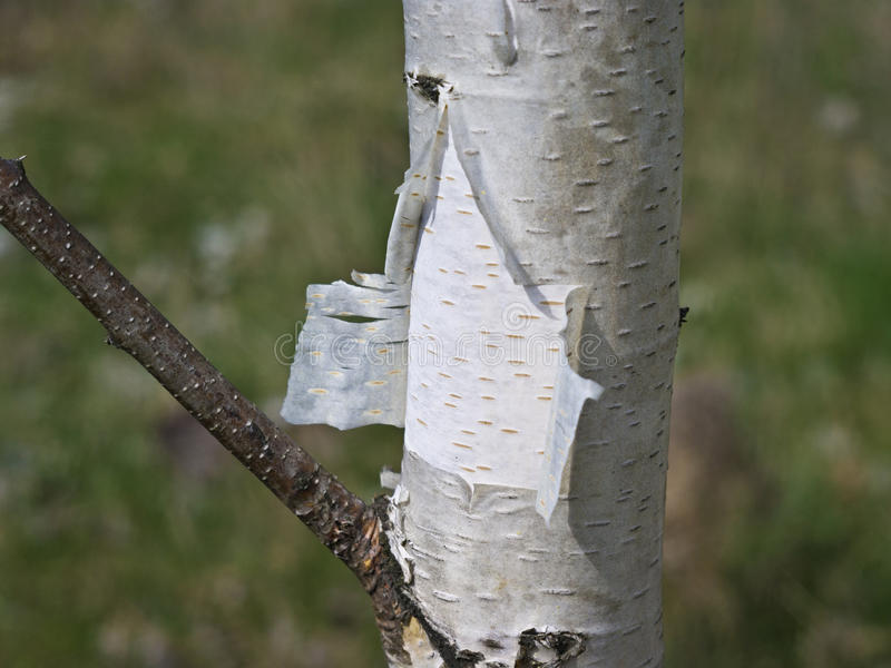 Birch bark stock image