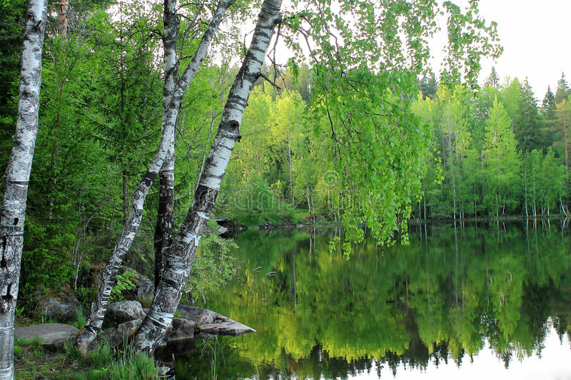 Birch Bending over a Water royalty free stock images