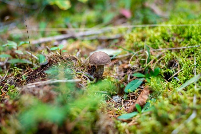 Birch bolet or Leccinum scabrum stock image