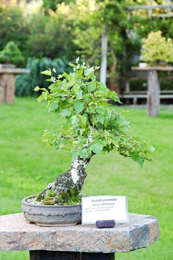 Birch Bonsai