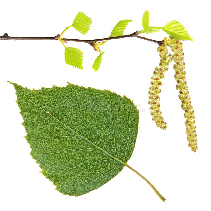 Birch branch with catkins and green leaf isolated on white stock image