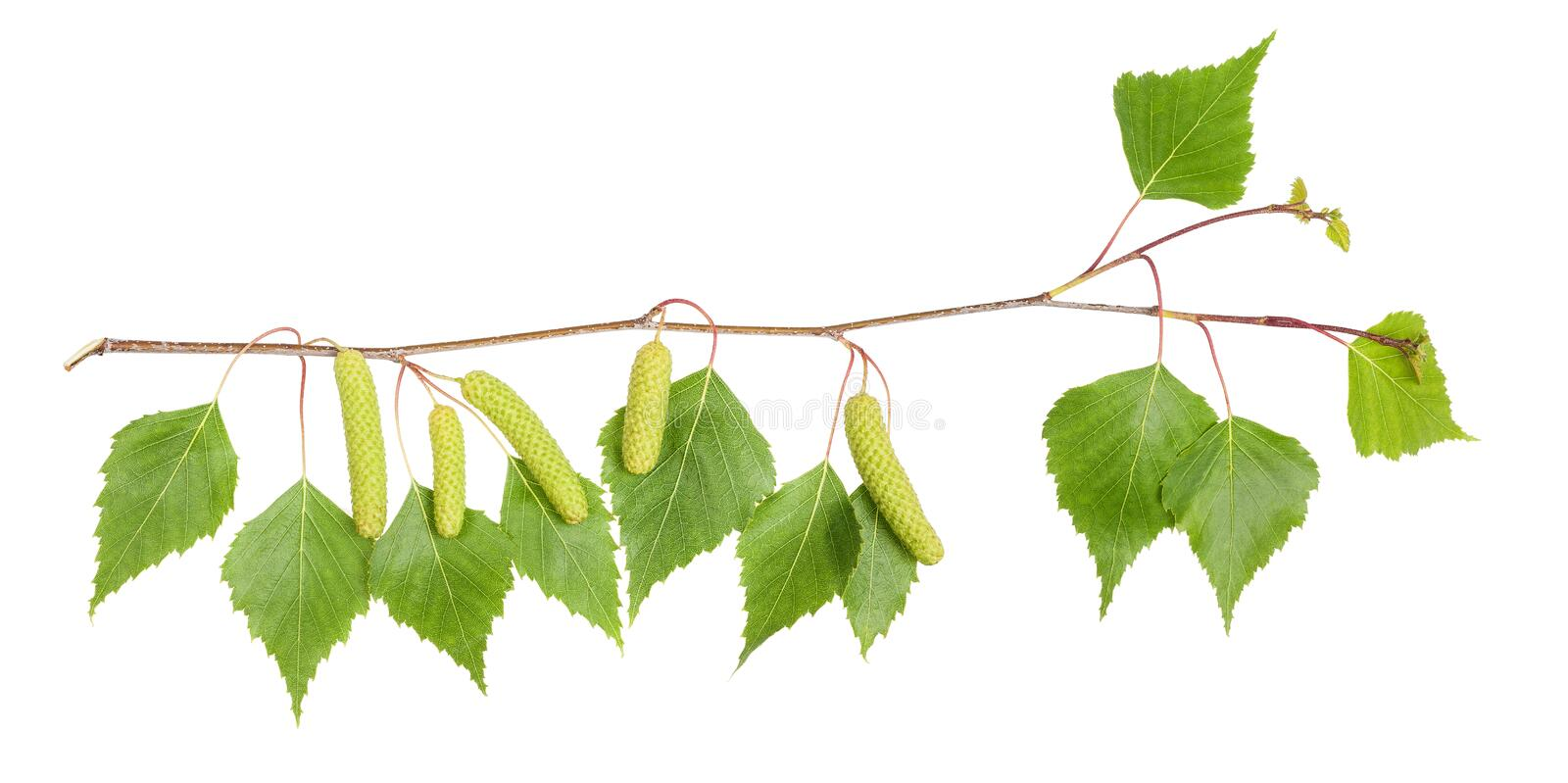 Birch branch stock images