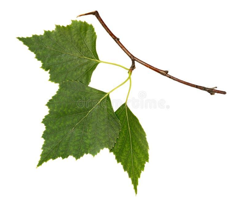 Birch branch stock photography