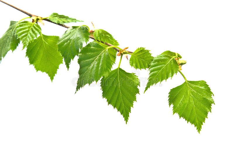 Birch branch with leafs stock images