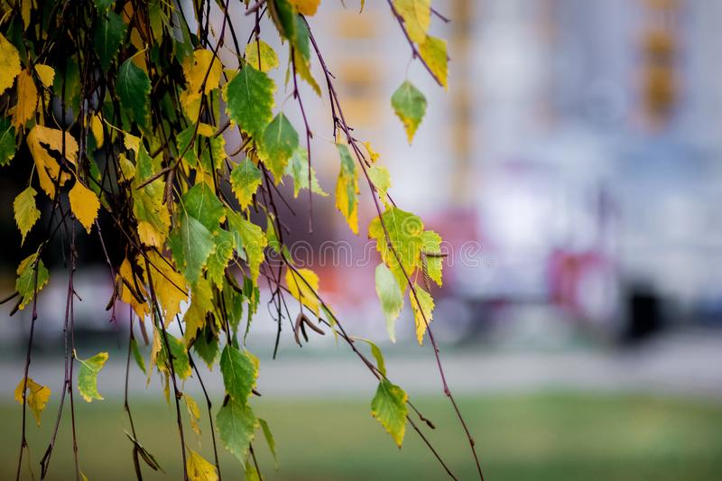 Birch branch with yellow and green leaves on the blurred background of the city street in the autumn_ royalty free stock photography