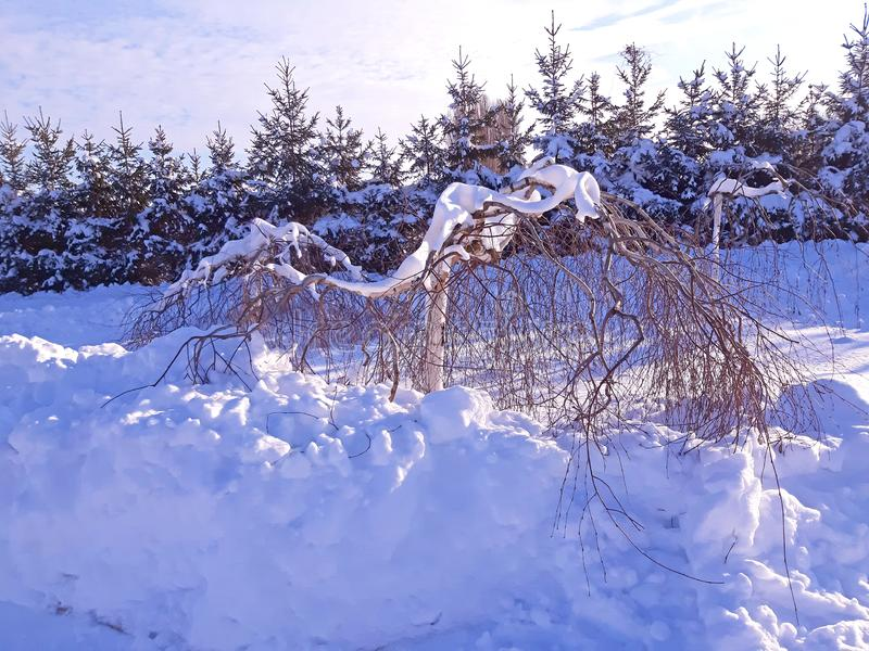 Birch with branches bent down and snow around it stock image