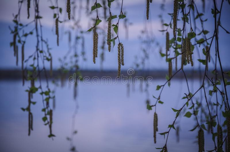 Birch branches with buds stock images