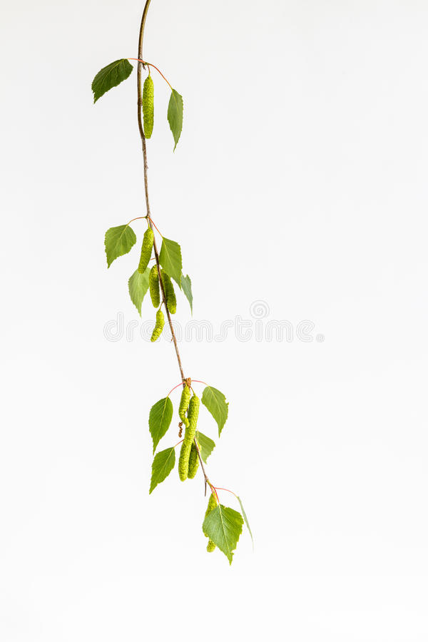 Birch. Branches with buds on a white background stock images