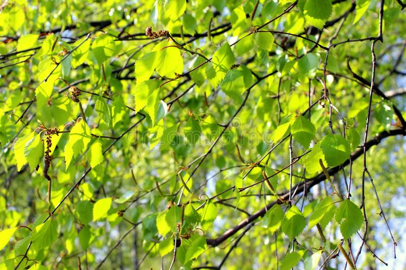 Birch branches with green leaves against the blue sky royalty free stock photography