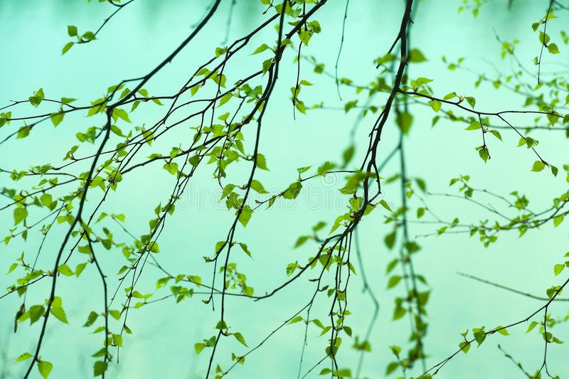Birch branches pattern. Natural seasonal spring eco abstract background: pattern of birch branches with young green leaves partially defocused. Can be used as a stock images