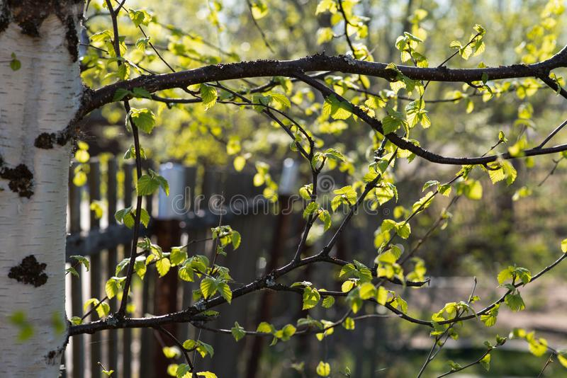 Birch branches in spring stock photography