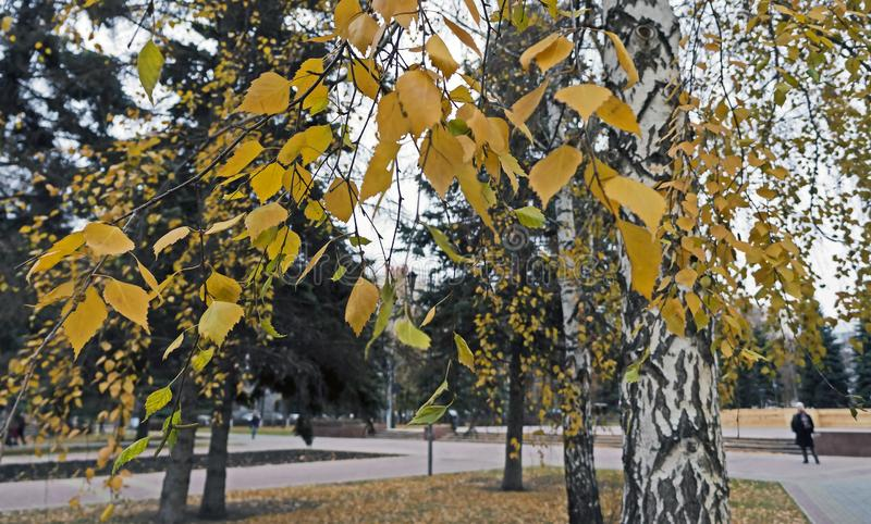 Birch branches with yellow leaves on the background of blurred landscape stock photo