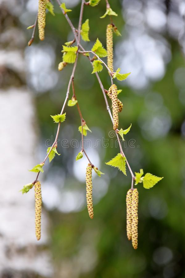 Birch buds royalty free stock images
