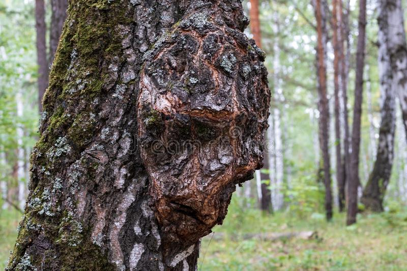 Birch Capa on the trunk of a tree growing in the forest, the growth on the wood in the form of a person stock photo