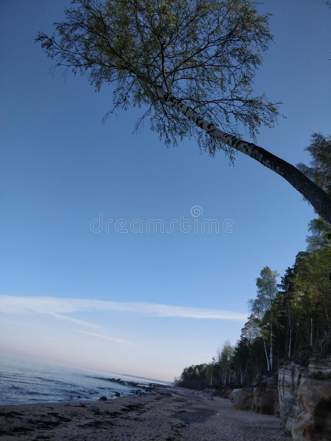 A birch at the cliff stock image