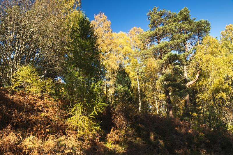 Birch and Conifers. An autumnal of Silver birch, Betula pendula, trees amongst the conifers. Speyside, Scotland. 20 October 2018 stock photos