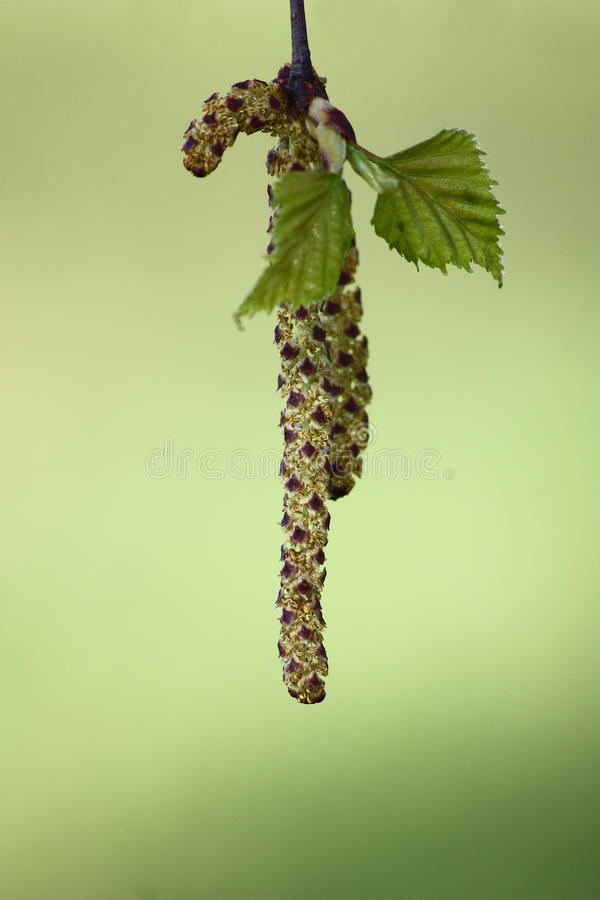 Download Birch ear rings. stock image. Image of leaves, birch - 28143877