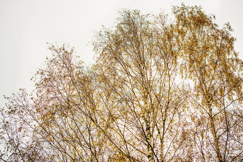 Birch by fall. Birch crown with few yellow leaves.rnPhoto is taken in Sweden in October stock image