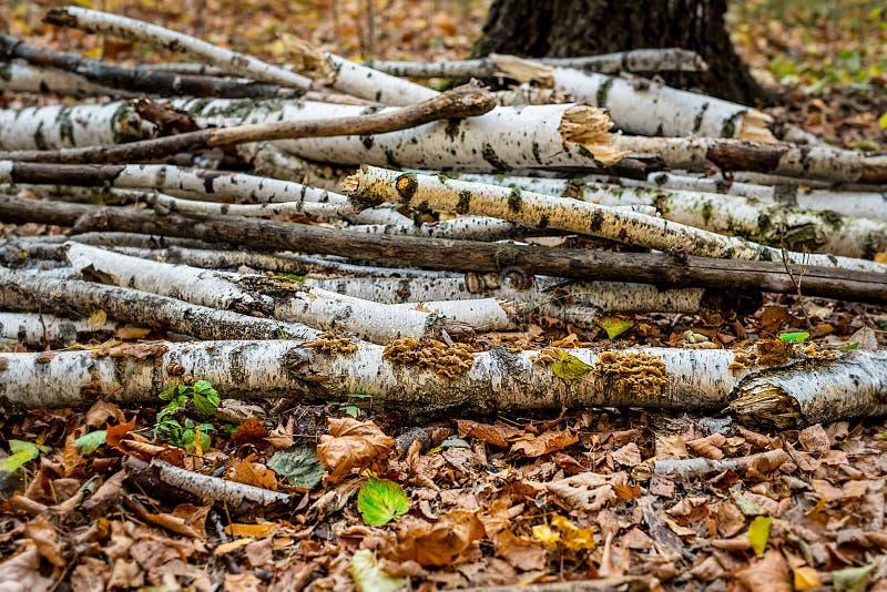 Birch royalty free stock photo