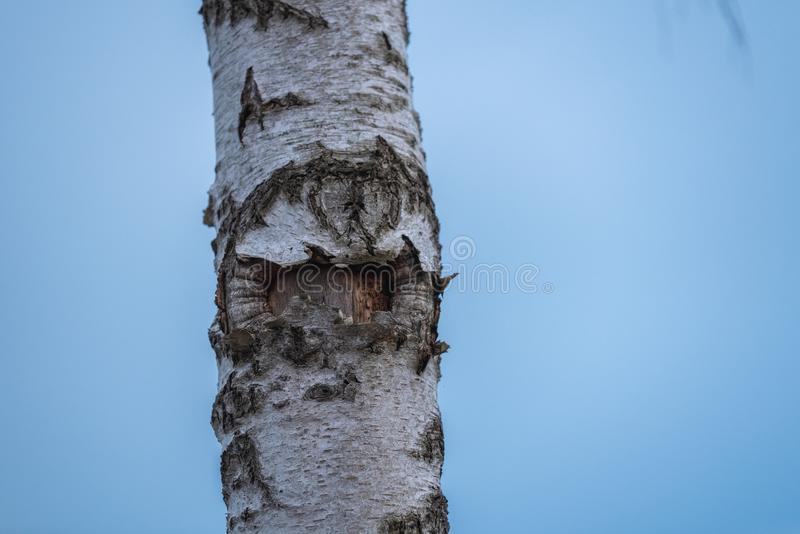 A birch in focus with blue background stock image