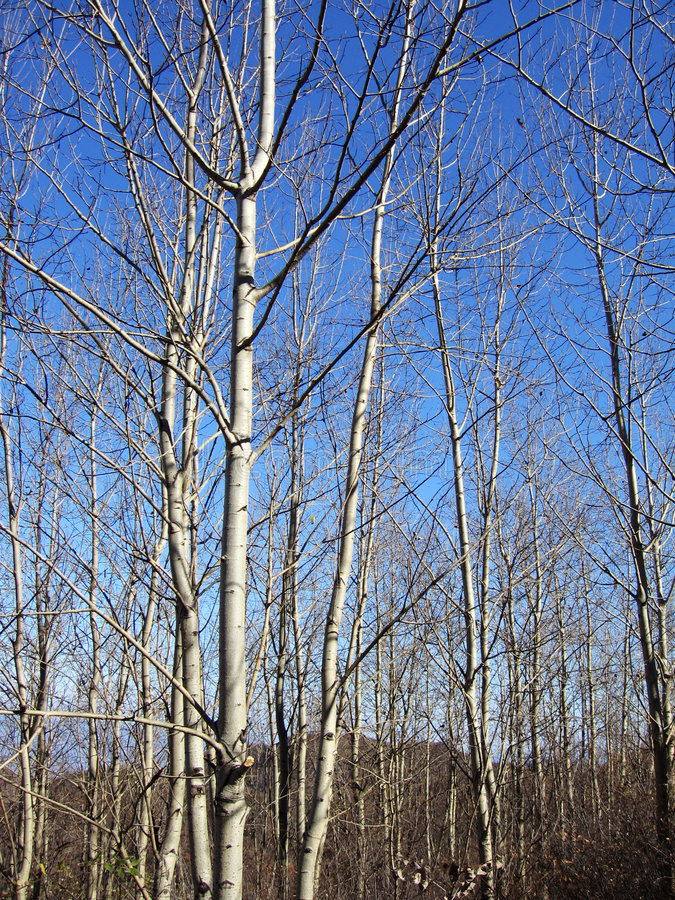 Free Birch Forest Royalty Free Stock Images - 1061809