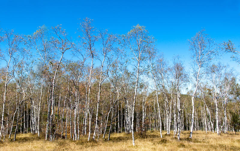 Download Birch forest stock photo. Image of pattern, area, leaf - 21227432