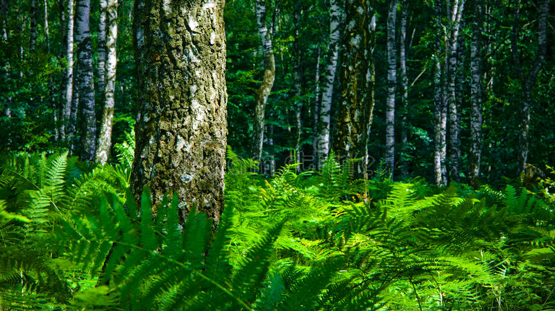 Download Birch forest stock image. Image of splendor, shady, trees - 2789669